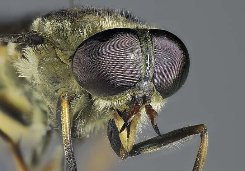 - Fam. Tabanidae - Bremsen - Brachycera (Fiegenartige) - Orthorrhapha