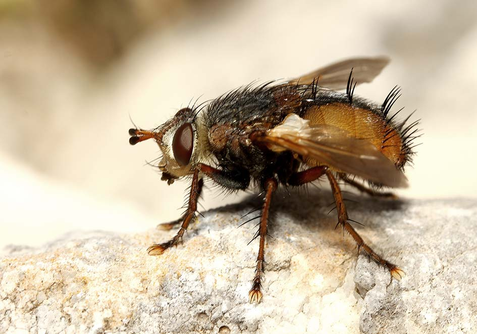 Tachinidae Raupenfliege - Samos - Diptera - Fliegen