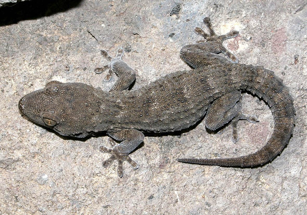Tarentola boettgeri - Kanarengecko - Gran Canaria - Lacertilia - Echsen - lizards