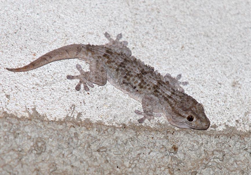 Taurentola mauritanica - Mauergecko - Toscana - Lacertilia - Echsen - lizards