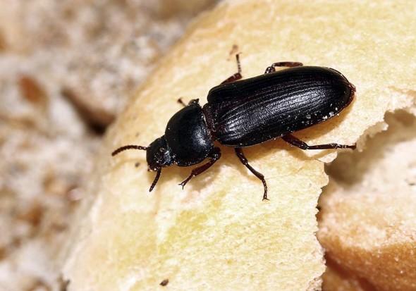 Tenebrio molitor - Mehlkäfer - Fam. Tenebrionidae (Schwarzkäfer) - weitere Käferfamilien - other beetle families