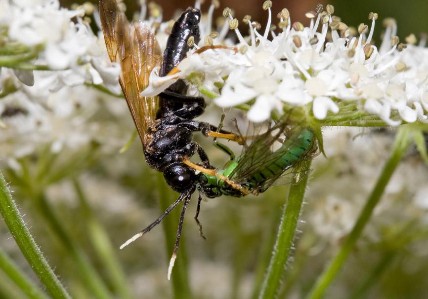 Tenthredo crassa - Fam. Tenthredinidae - Blattwespen - Symphyta - Pflanzenwespen - sawflies
