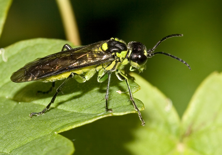 Tenthredo mesomela - Fam. Tenthredinidae - Blattwespen - Symphyta - Pflanzenwespen - sawflies