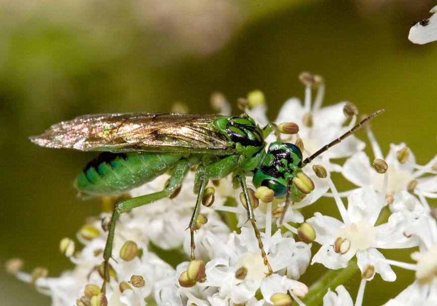 Tenthredo olivacea - Fam. Tenthredinidae - Blattwespen - Symphyta - Pflanzenwespen - sawflies