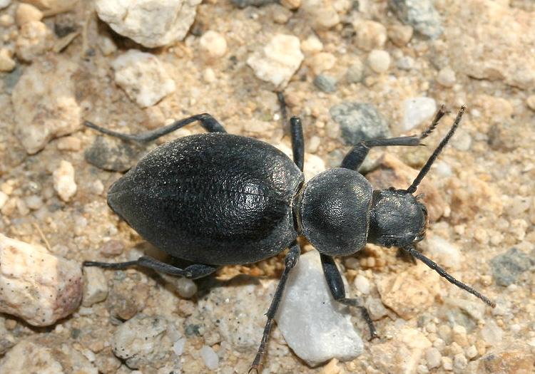 Tentyria sp. - Serifos - Tenebrionidae - Schwarzkäfer - darkling beetles
