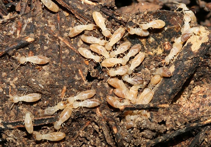Reticulitermes sp. - Erdtermiten  - Rhodos - Isoptera - Termiten - termites