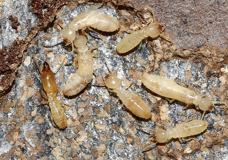 Reticulitermes sp. Erdtermiten  - Samos - Isoptera - Termiten - termites