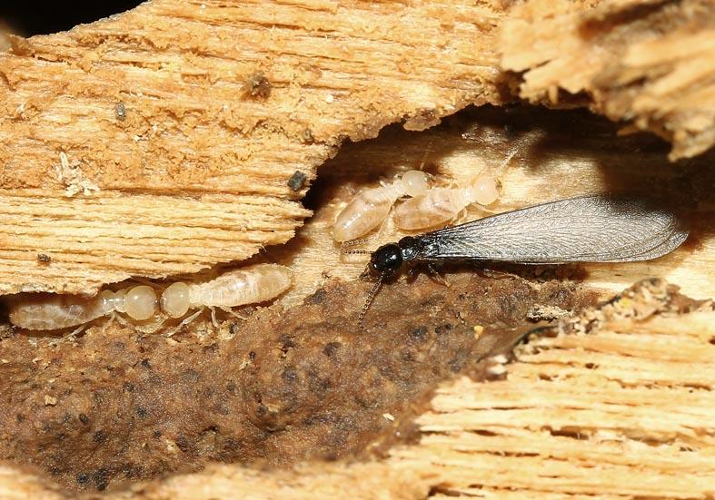 Reticulitermes sp. - Erdtermiten  - Toscana - Isoptera - Termiten - termites