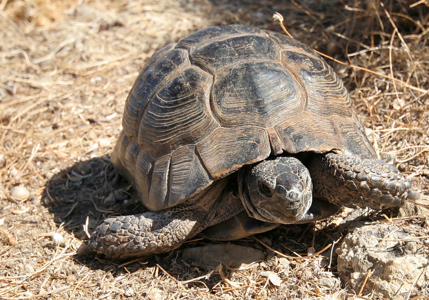 Testudo graeca - Maurische Landschildkröte - Kos - Chelonii - Schildkröten - turtles, tortoises