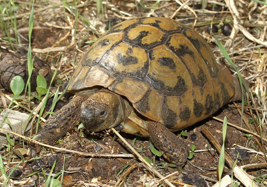 Testudo hermanni - Griechische Landschildkröte - Korfu - Chelonii - Schildkröten - turtles, tortoises