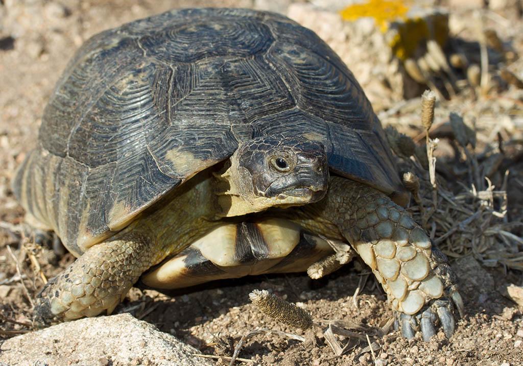 Testudo marginata - Breitrandschildkröte - Sardinien - Chelonii - Schildkröten - turtles, tortoises