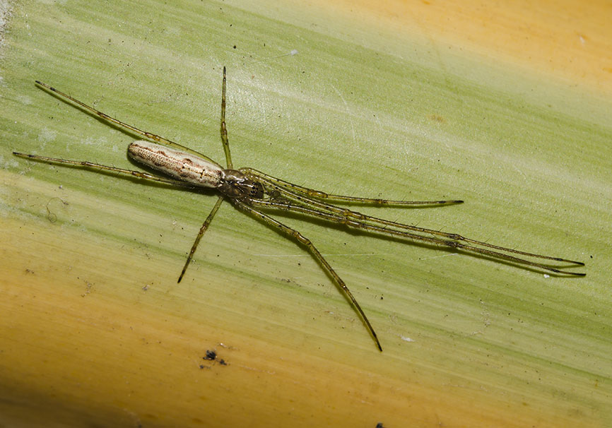 Tetragnatha sp. -Streckerspinne - Tetragnathidae - Dickkieferspinnen  - Araneae - Webspinnen - orb-weaver spiders