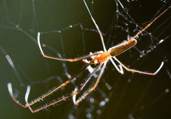 Tetragnatha sp.  Streckerspinne - Fam. Tetragnathidae - Araneae - Webspinnen - orb-weaver spiders