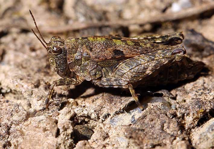 Tetrix tenuicornis - Gemeine Dornschrecke - Fam. Tetrigidae - Weitere Geradflügler - other orthopters