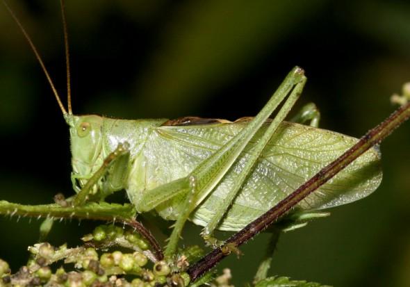 Tettigonia cantans - Zwitscherschrecke - - Fam. Tettigoniidae - Tettigoniidae - Laubheuschrecken - bush crickets
