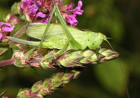 Tettigonia cantans - Zwitscherschrecke - Fam. Tettigoniidae - Tettigoniidae - Laubheuschrecken - bush crickets