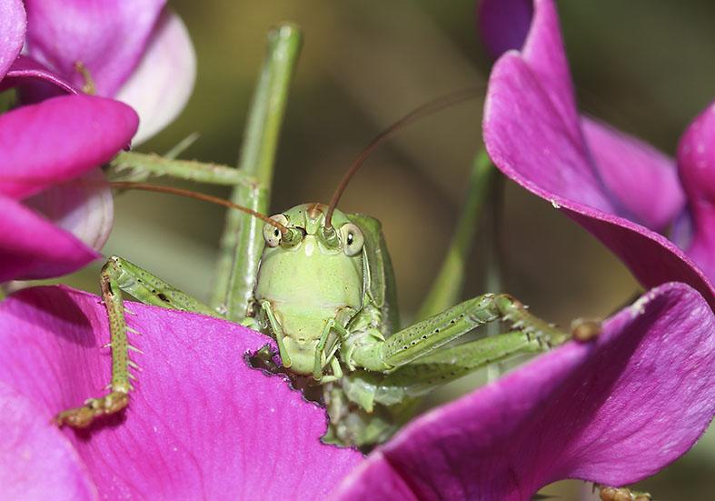 Tettigonia viridissima Grünes Heupferd -  - Tettigoniidae - Laubheuschrecken - bush crickets