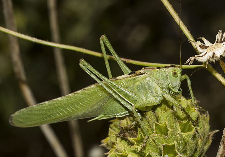 Tettigonia viridissima  - Zagori (Griechenland) - Ensifera - Tettigonidae - Laubheuschrecken - bush crickets