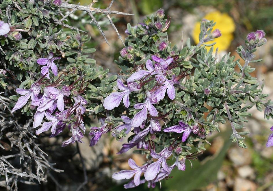 Teucrium brevifolium - Kurzblättriger Gamander -  - Phrygana
