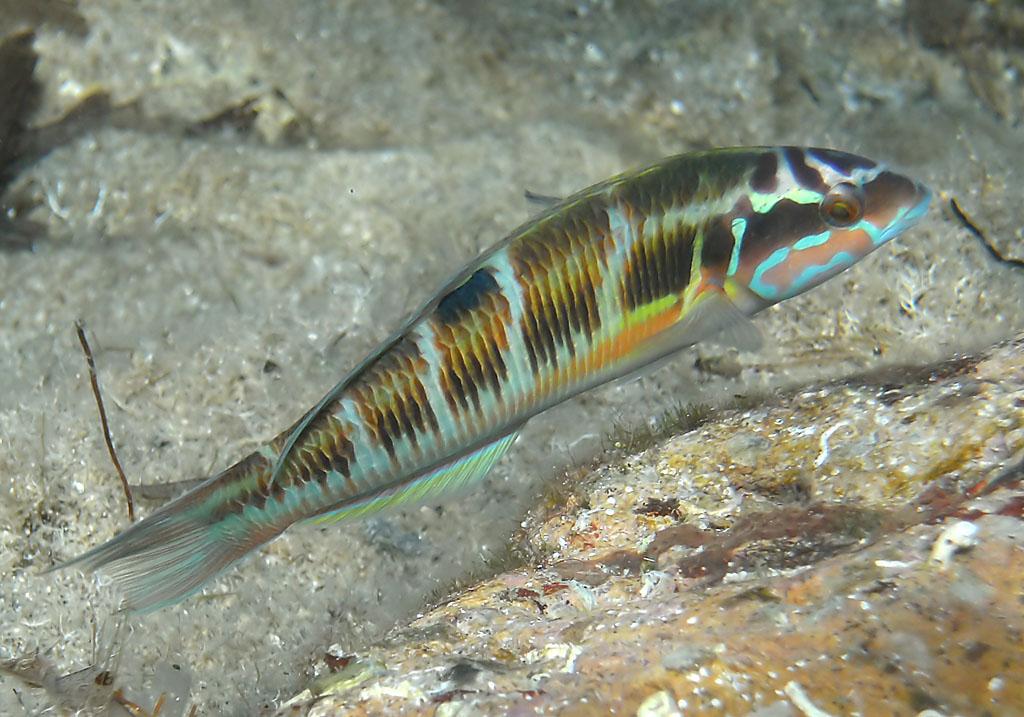 Thalassoma pavo - Meerpfau (Weibchen) -  - Pisces - Fische - fish