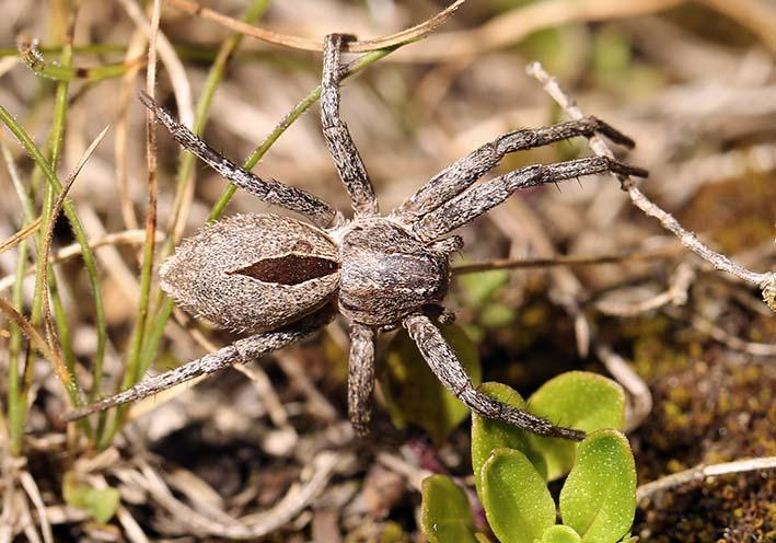 Thanatus formicinus - Fam. Philodromidae - Laufspinnen - Araneae - Webspinnen - orb-weaver spiders