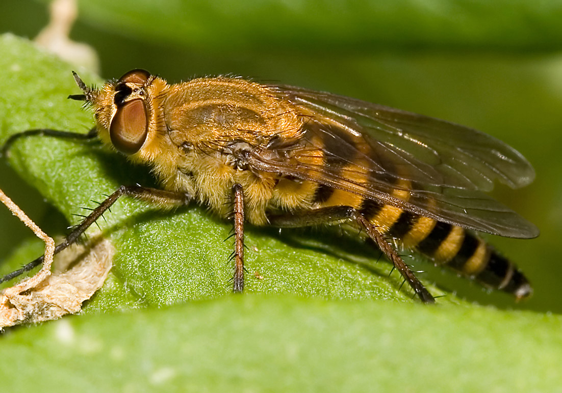 Thereva nobilitata - Fam. Therevidae - Luchsfliege - Brachycera (Fiegenartige) - Orthorrhapha