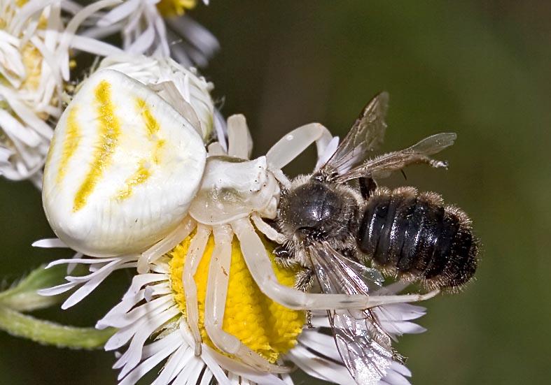 Thomisus onustus - Fam.  Thomisidae - Krabbenspinnen - Araneae - Webspinnen - orb-weaver spiders