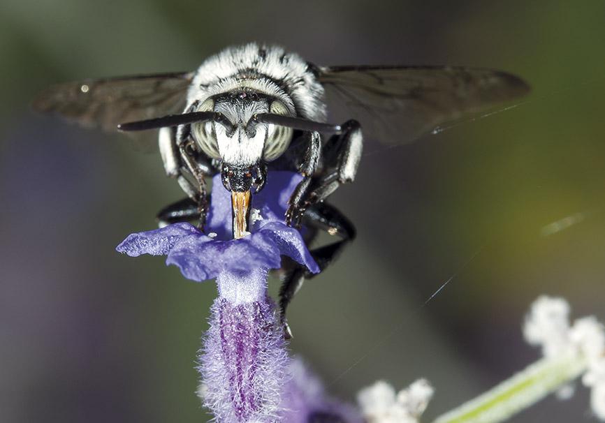 Thyreus histrionicus  - Fleckenbiene - Kuckucksbiene bei Pelzbienen - Apiformes - Apidae - Bienen - Bees
