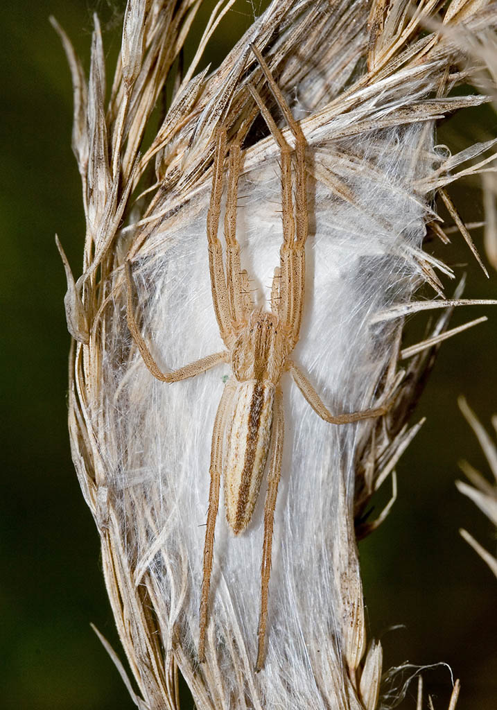Tibellus sp.  - Fam. Laufspinnen - Philodromidae - Araneae - Webspinnen - orb-weaver spiders