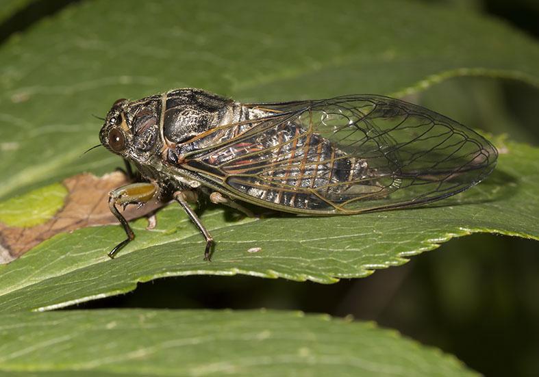 Tibicina haematodes  -  Blutzikade  - Fam. Cicadidae  (Singzikaden)  -   Zagori (Griechenland) - Auchenorrhyncha - Zikaden - cicada