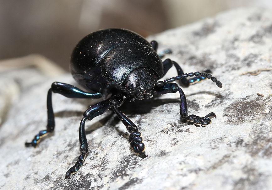 Timarcha sp. - Tatzenkäfer - Toscana - Chrysomelidae - Blattkäfer - leaf beetles