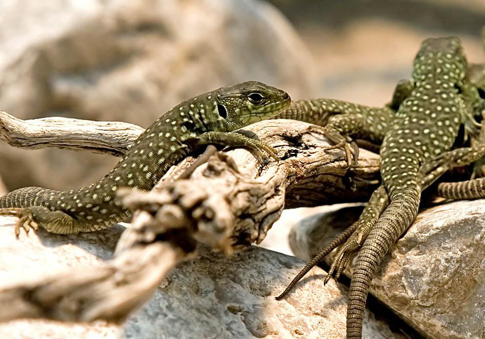 Timon lepidus  - Perleidechse  (juv) - Alpenzoo - Lacertidae - Eidechsen - Lizards