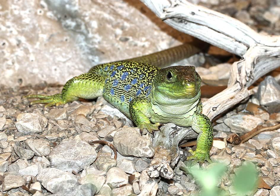 Timon lepidus  - Perleidechse - Alpenzoo - Lacertidae - Eidechsen - Lizards
