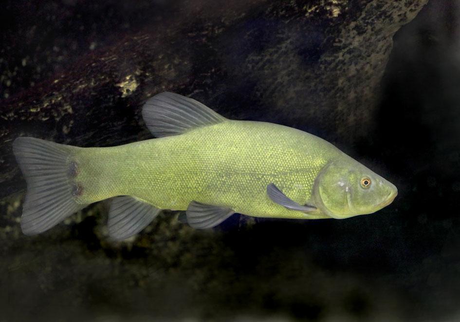 Tinca tinca - Schleie - Alpenzoo - Cypriniformes - Karpfenartige