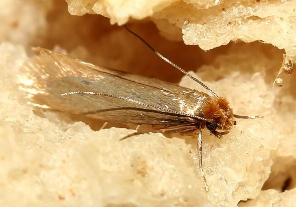 Tineola pisselliella - Kleidermotte - Fam. Tineidae - Echte Motte -