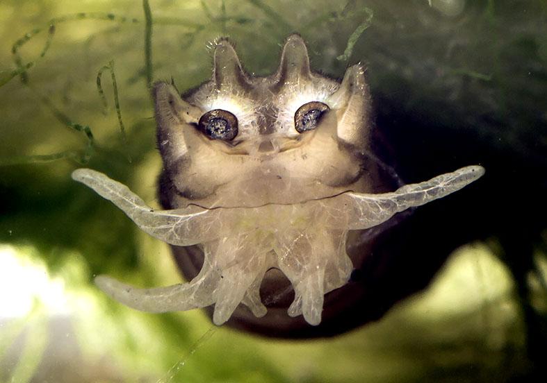 Tipula sp. - Fam. Tipulidae - Schnaken - aquatische Dipteren-Larven