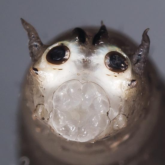 Tipulidae Fratze - Schnaken -  - terrestrische Dipteren-Larven