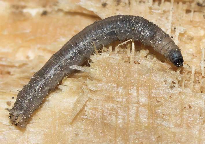Tipulidae - Schnaken -  - Dipteren-Larven