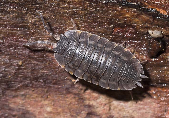 Trachelipus ratzeburgii  -  - Isopoda - Asseln - woodlice