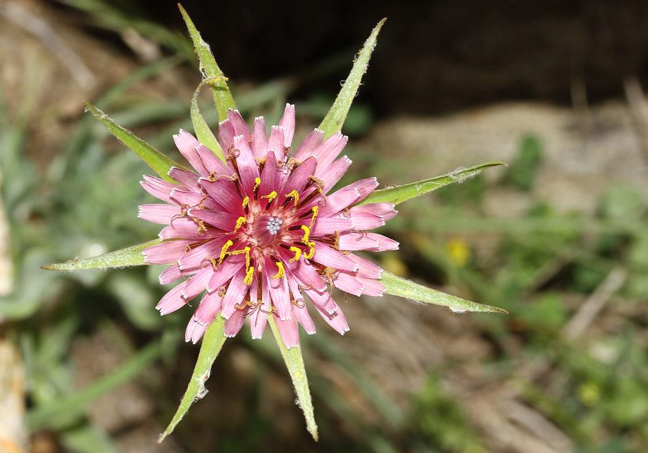 Geropogon (Tragopogon) hybridus - Hybrid-Bocksbart -  - Gras- und Felsfluren - grassy and  rocky terrains