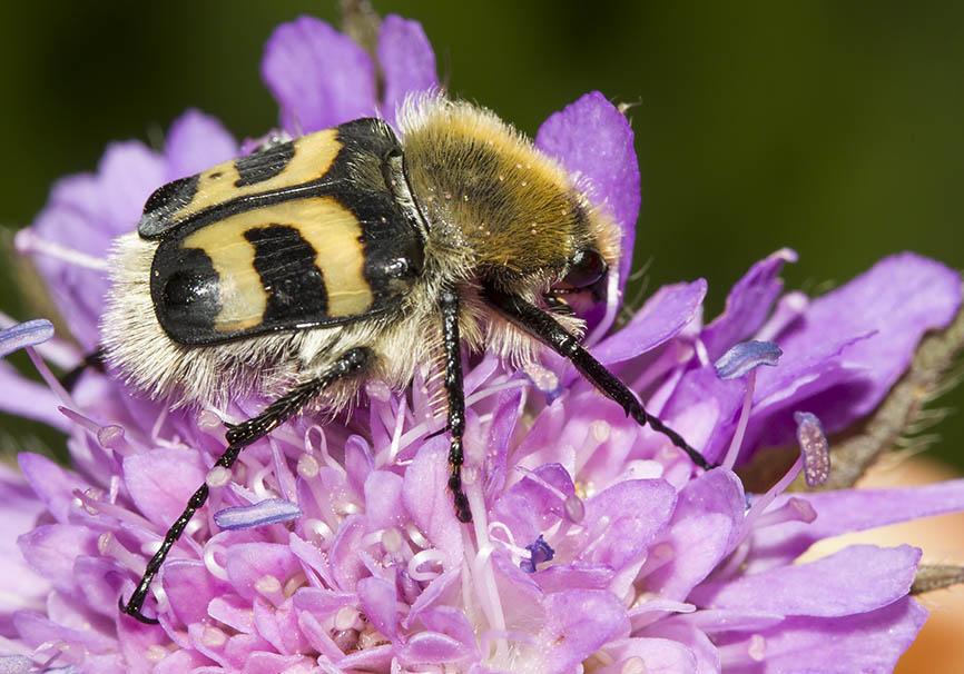 Trichius fasciatus - Gebänderte Pinselkäfer - Fam. Cetoniidae - Scarabaeoidea - Blatthornkäfer - scarab beetles