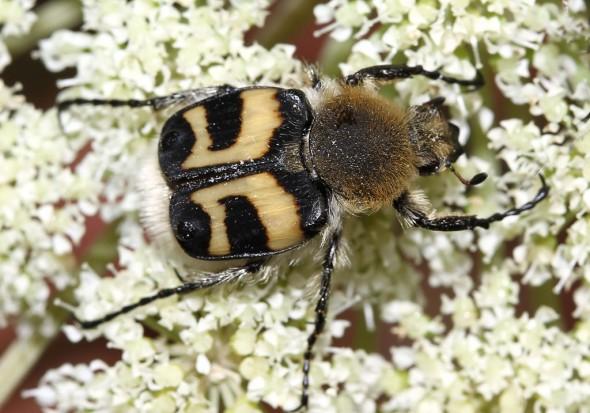 Trichius fasciatus - Pinselkäfer - Fam. Cetoniidae - Scarabaeoidea - Blatthornkäfer - scarab beetles