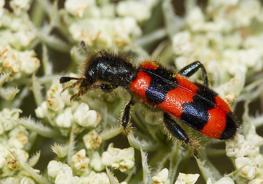 Trichodes apiarius - Gemeine Bienenkäfer - Fam.  Cleridae - Buntkäfer - weitere Käferfamilien - other beetle families