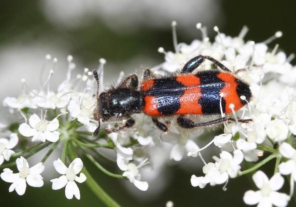 Trichodes apiarius - Gemeiner Bienenkäfer - Fam.  Cleridae - Buntkäfer - weitere Käferfamilien - other beetle families