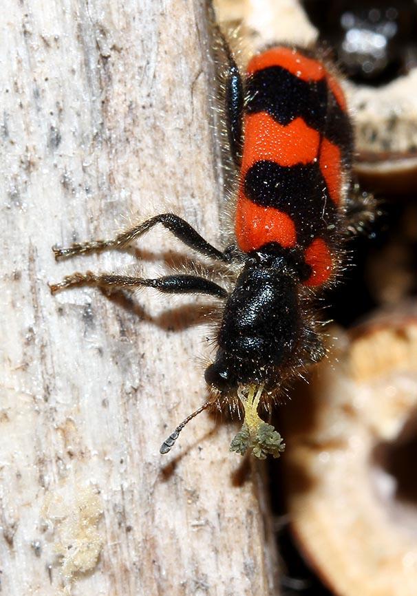 Trichodes apiarius - Gemeiner Bienenkäfer mit  Pollinien - Fam.  Cleridae - Buntkäfer - weitere Käferfamilien - other beetle families