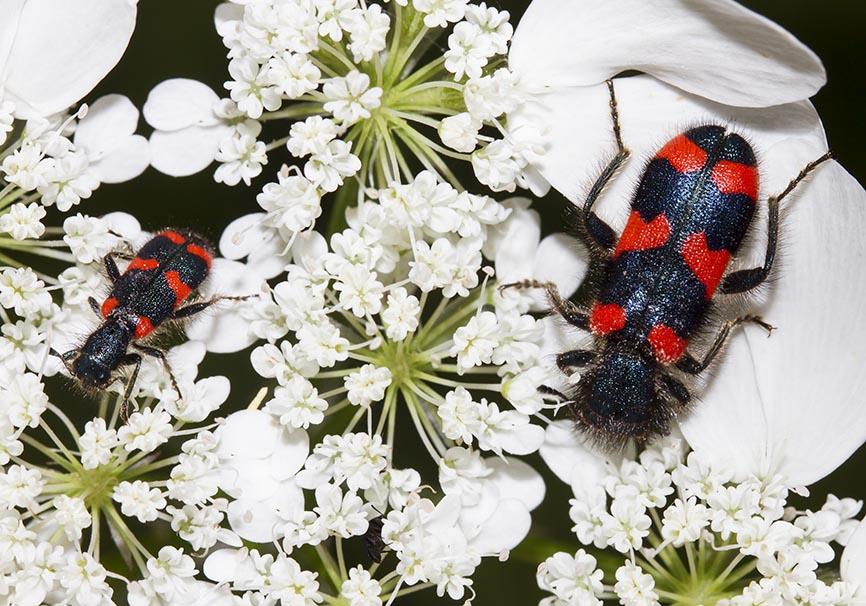Trichodes favarius - Fam. Cleridae - Buntkäfer   - Zagori - Epirus - Weitere Käferfamilien - other beetle families