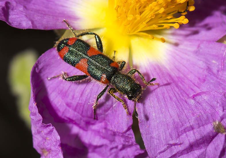 Trichodes similis - Fam. Cleridae - Buntkäfer  - Pilion (Griechenland) - Weitere Käferfamilien - other beetle families