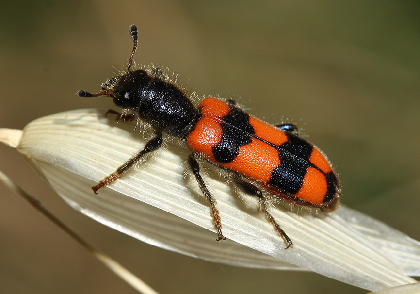 Trichodes crabroniformis - Fam. Cleridae - Buntkäfer  (Samos) - Weitere Käferfamilien - other beetle families