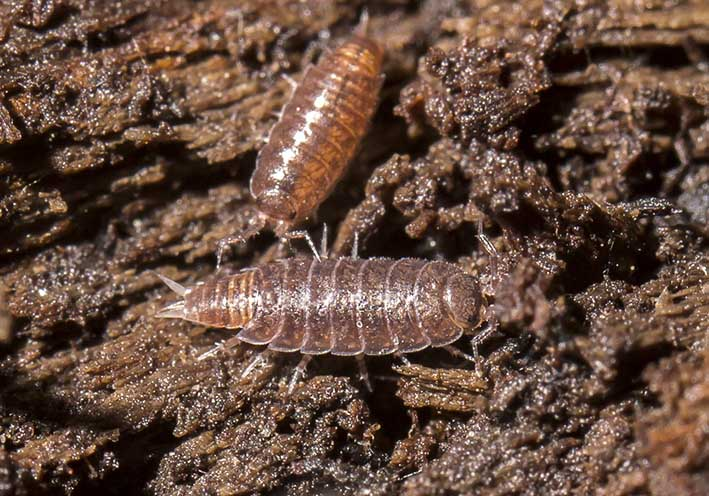 Trichoniscus sp.  -  - Isopoda - Asseln - woodlice