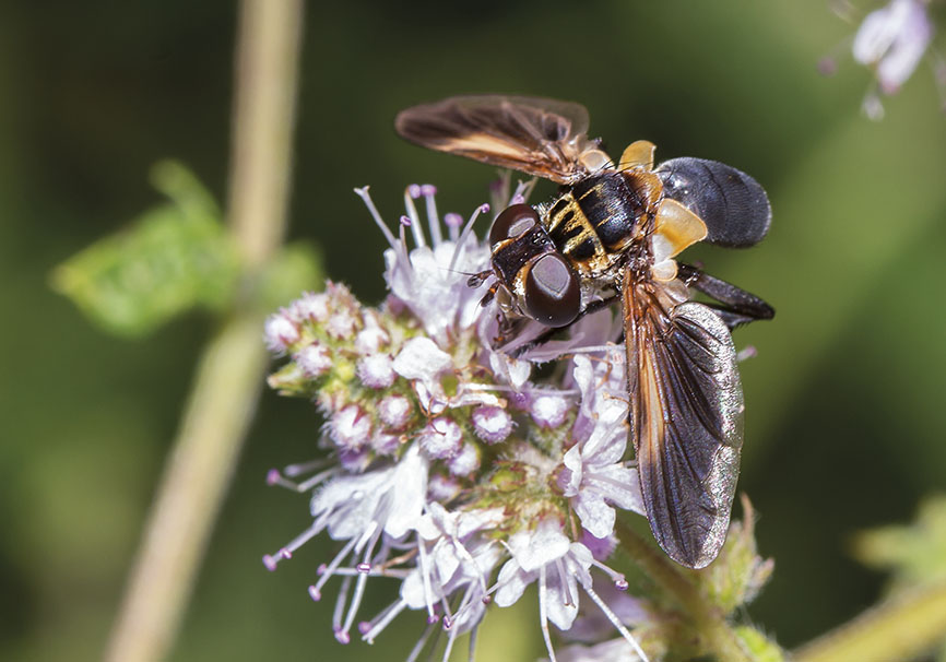Trichopoda pennipes   - Fam. Tachinidae - Schmarotzerfliegen - Brachycera (Fliegenartige) - Schizophora - muscoids